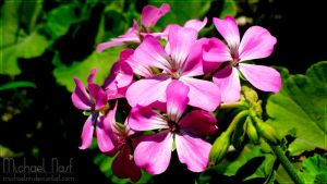 Pink Flowers V by MichaelNN