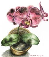 Orchid by msafs