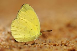 Three Spot Grass Yellow 190211 by inckurei