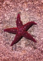 Pink Star by JWabbit