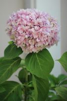Pink Hydrangea by AtomicBrownie