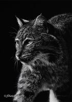 Bobcat 3 - Scratchboard by Misted-Dream