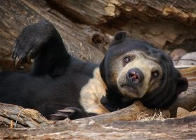 Sun Bear by DeniseSoden