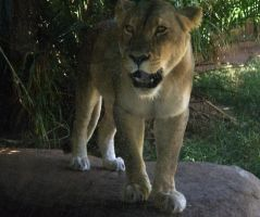 Lioness IV by Twister4evaSTOCK