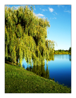Weeping willow by MichelleMarie