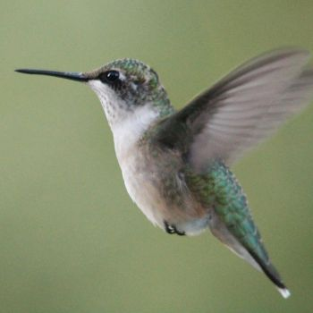 Female hummingbird VI 9-14-15 by Part-Time-Cowboy