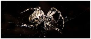 Spider by Berti18
