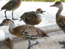 West Indian Whistling Ducks 2 by yodana