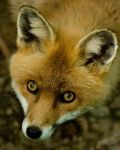 Red Fox by h-e-photography