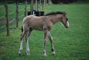 Foal Stock 9 by equinestudios