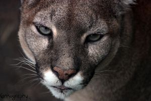 Cougar 1 by Canisography