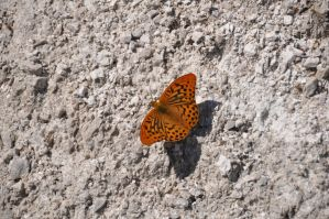 Silver-washed Fritillary by Tyc01101