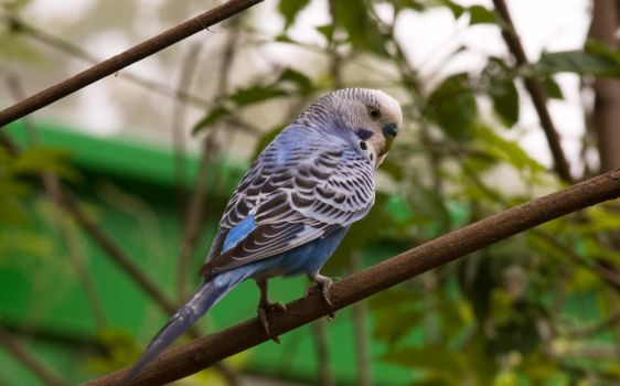Blue Budgie 2 by Katiemarie