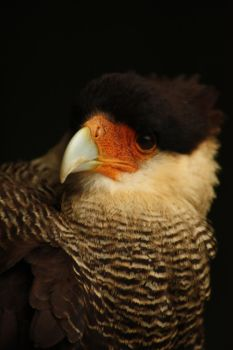 Caracara Plancus by Joy-of-markers
