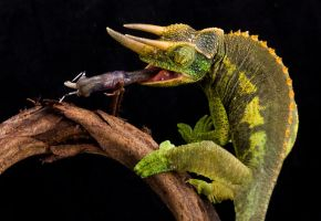 Jacksons cham eating 2 by AngiWallace