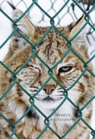 Rufus the Bobcat by remydarling