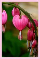 Bleeding Heart Jewel by UffdaGreg
