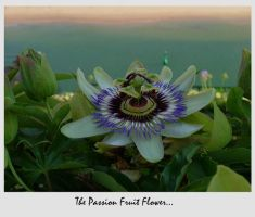 The Passion Fruit Flower... by Waterlilynl