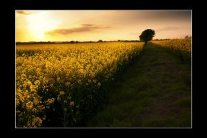 rapeseed season IV by theoden06