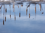 Upside down in winter cattails by Mogrianne