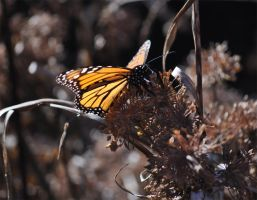 Monarch Butterfly by Nerwign