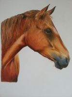 HORSE in coloured pencil by stevej061069