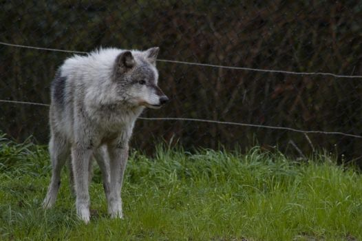 Wolf Standing Up on Grass 3 by happeningstock
