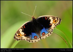 Junonia orithya wallacei by log1t3ch