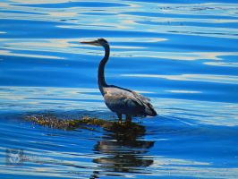 Heron Wading For Dinner by wolfwings1