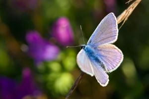 Common Blue III by dalantech