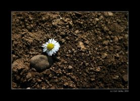 Lonely daisy by Ciril