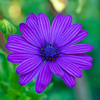 African Daisy by AreteEirene