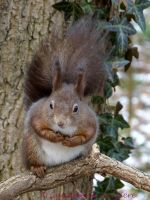 Squirrel 46 by Cundrie-la-Surziere