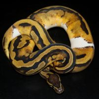 Female Piebald Ball Python by Phoenix-Cry