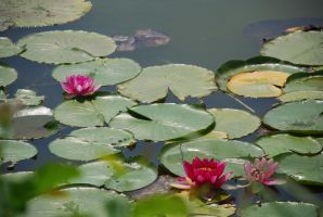 Water Lillies 2 by elanordh-stock