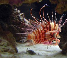 Lionfish with damaged fin by kwant