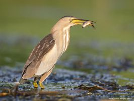 Little Bittern with Fish by Sergey-Ryzhkov