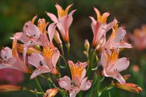 Pink alstroemeria by snoogaloo