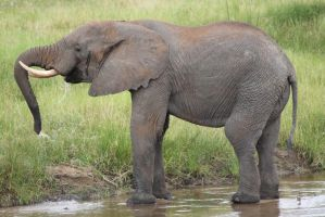 Elephant 06 by syoul-stock