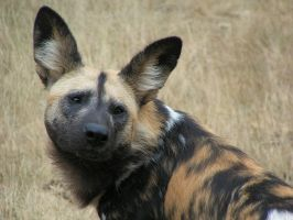 Portrait of a painted dog by Henrieke