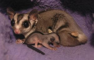 Sugar Glider Daddy and Baby by CyberneticDreamz