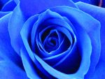 Blue Rose 2 by YuriPanda - Turkuaz-Mavi Avatarlar