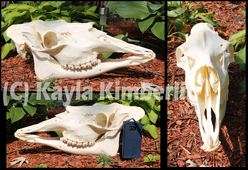 Siras Moose skull by BluesCuriosities