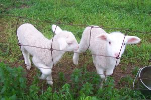 Lambies..... by slayer20