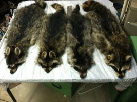 Racoons -- four adults by AtypicalAnimal