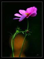 Cosmos by Yeoman2b
