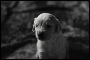 Golden Retriever puppy by whensummerends