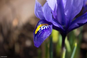 iris with morning dew by blacky-mo