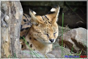 Serval 05 by mchenry