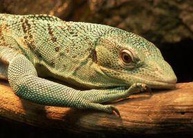 Blue Spotted Monitor by Ciameth